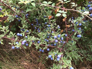 False friends - berries that look like blueberries