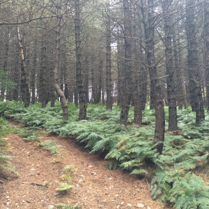 Pine trees with bracken tutus