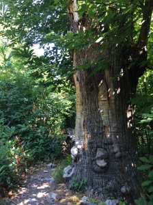 Giant chestnut tree?