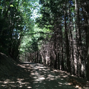 Pine forest trail