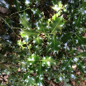 Prickly holly leaves