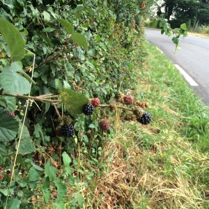 Blackberries encroaching the road verge