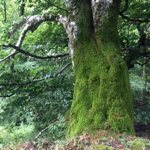 Mossy huge beech tree, queen of the forest