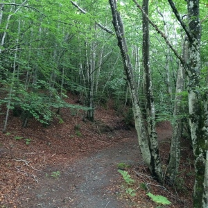 Beech forest trail