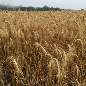A field of wheat stalks