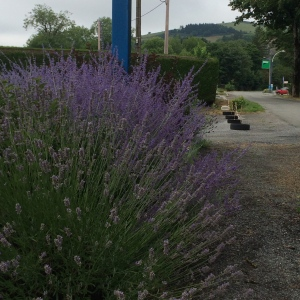 Lavender bushes by the side of the road